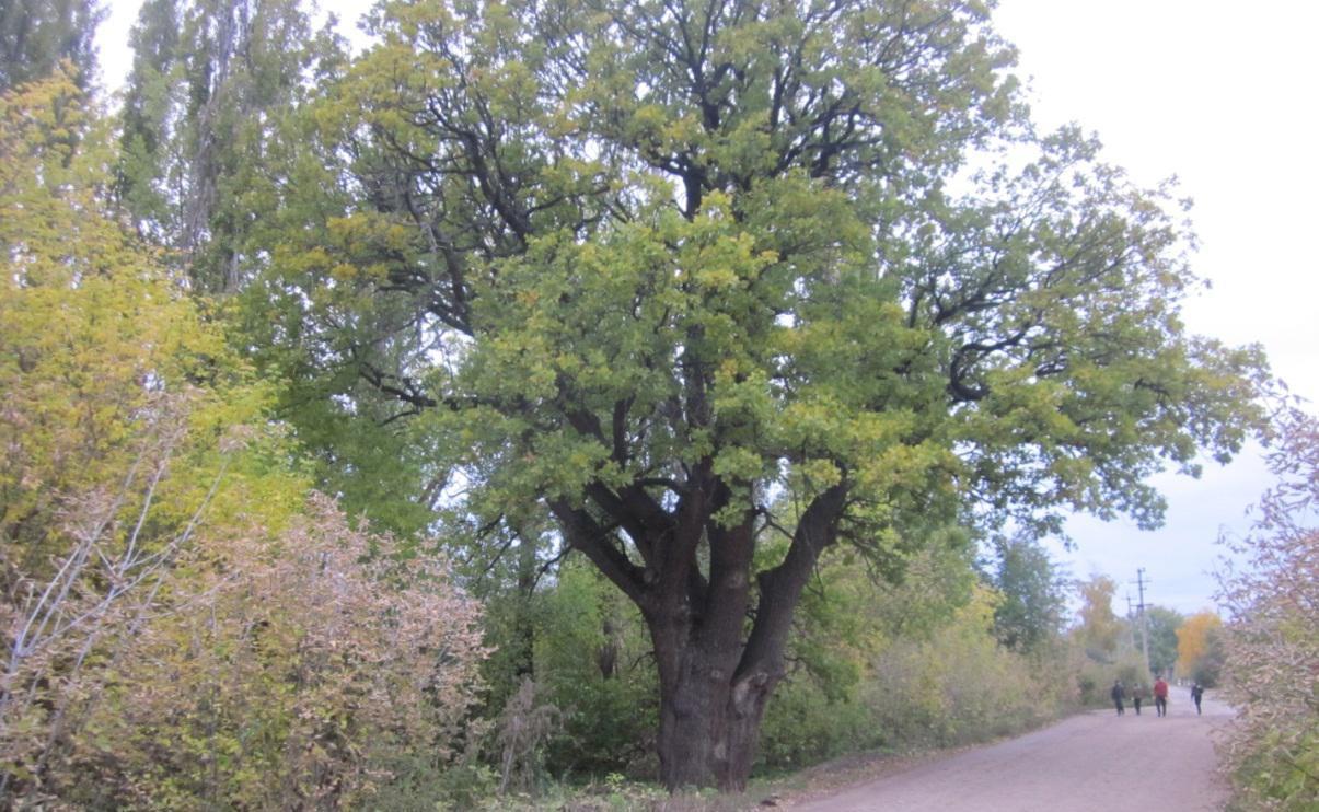 Фоминский лес остается главным лесным насаждением Миллеровского района